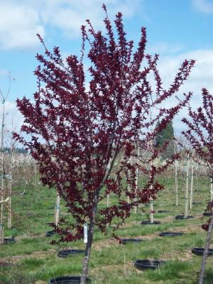 Deciduous Trees Perez Nursery