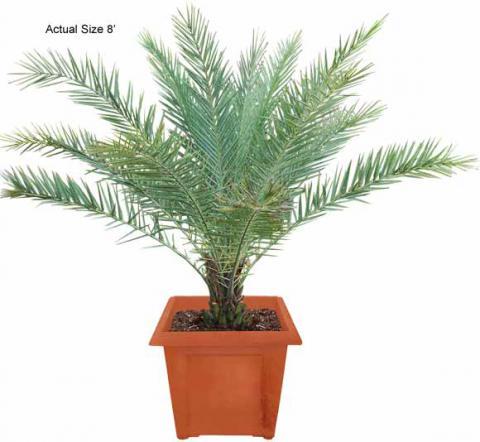 Phoenix Roebellini Pigmy Date Palms